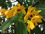 Dendrobium ochreatum -