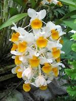 Dendrobium thyrsiflorum -