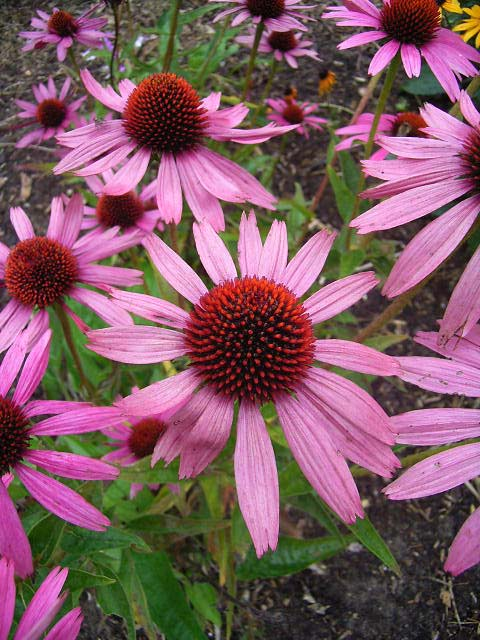 Photos Echinacea purpurea - Cone flower