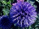 Echinops banaticus - Garten-Kugeldistel Blue Ball