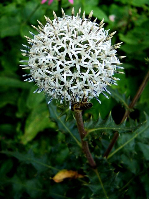 Photos Echinops sphaerocephalus - Great globethistle