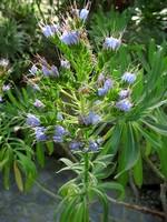 Echium candicans - Stolz von Madeira