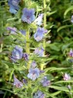 Echium vulgare - Natterkopf