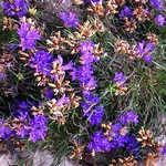 Edraianthus tenuifolius - Dünnblättrige Büschelglocke