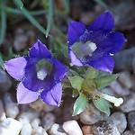 Edraianthus pumilio - Niedrige Büschelglocke