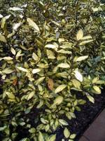 Eleagnus x ebbingei - Wintergrüne Ölweide Aurea