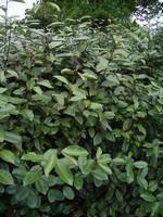 Eleagnus x ebbingei - Wintergrüne Ölweide