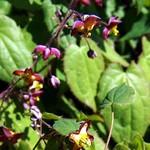 Epimedium alpinum - Alpen-Elfenblume