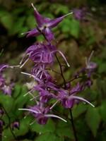 Epimedium grandiflorum - Großblütige Elfenblume
