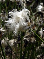 Eriophorum vaginatum - Scheidiges Wollgras