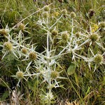 Photos Eryngium campestre