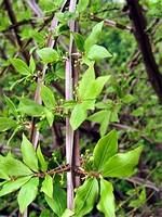 Fotos Euonymus alatus