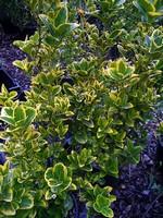 Fotos Euonymus japonica