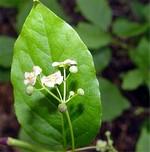 Fotos Euonymus latifolius