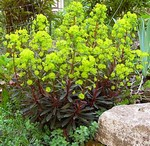 Photos Euphorbia amygdaloides