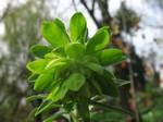 Photos Euphorbia characias ssp. wulfenii