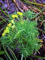 Photos Euphorbia cyparissias