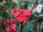 Photos Euphorbia lomii Hybride