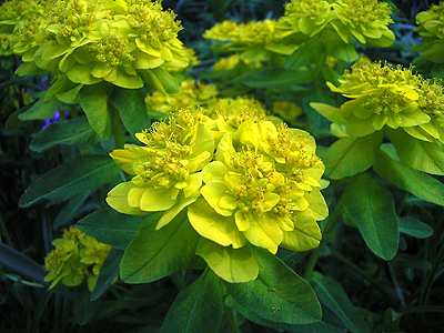 Photos Euphorbia polychroma -