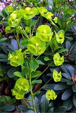Photos Euphorbia robbiae