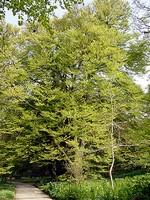 Fagus sylvatica - Geschlitztblättrige Buche Laciniata