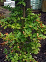 Photos Fagus sylvatica