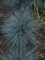 Festuca cinerea - Garten-Blau-Schwingel Azurit