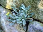 Fibigia clypeata - Schild-Kresse