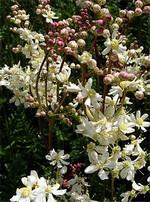 Filipendula vulgaris - Knollen-Rüsterstaude, Knollen-Spierstaude
