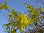 Forsythia ovata - Goldglöckchen, Koreanische Forsythie