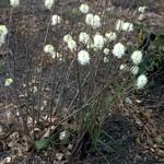Fothergilla gardenii - Erlenblättriger Federbuschstrauch