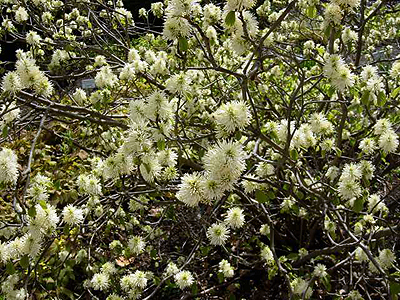 Photos Fothergilla major - Mountain witchalder