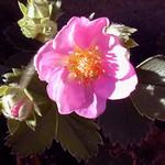 Fragaria × ananassa - Garten-Zier-Erdbeere Pink Panda