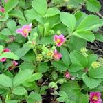 Fragaria × ananassa - Garten-Zier-Erdbeere Red Ruby