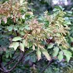 Fraxinus ornus - Blumen-Esche, Manna-Esche