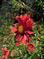 Gaillardia - Kokardenblume Burgunder