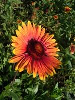 Gaillardia - Kokardenblume Fackelschein
