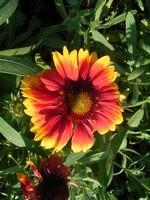 Gaillardia - Kokardenblume Kobold