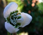 Photos Galanthus