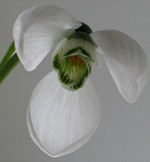 Galanthus elwesii - Schneeglöckchen
