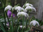 Galanthus nivalis - Schneeglöckchen Flore Pleno