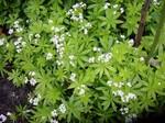 Galium odoratum - Heimischer Wald-Meister