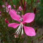Gaura lindheimerii - Prachtkerze Siskyou Pink