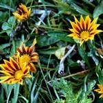 Gazania Hybriden - Mittagsblume