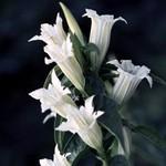 Gentiana asclepiadea - Weißer Schwalbenwurz-Enzian Alba