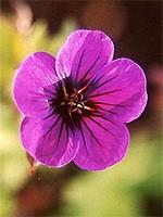 Fotos Geranium psilostemon