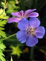 Fotos Geranium wallichianum
