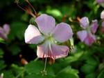Fotos Geranium × cantabrigiense