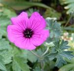 Fotos Geranium cinereum var. subcaulescens