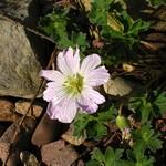 Fotos Geranium cinereum